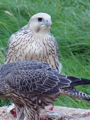 PROVEN Breeding Pair White & Grey GYRS, PEREGRINE Falcons For Sale!!