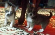 Well Train Male and Female Chihuahua Puppies Avaliable...